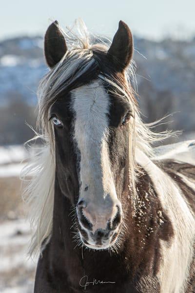 gypsy vanner, horse, blue eyes, snow, Texas, Black and white, headshot