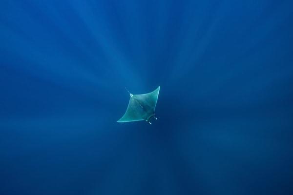 Wonderful mobula ray in deep blue photo.