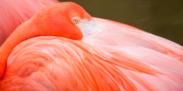A Resting Flamingo Shares An Array of Pinks Print