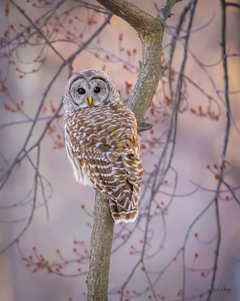 Barred Owl at Dusk