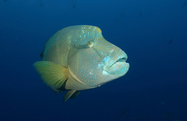Stunning close-up of a napoleon wrasse.