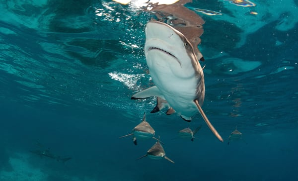 Exciting shark action photo.