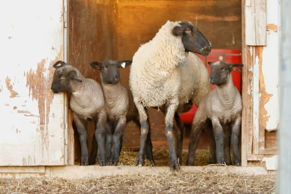 Mama lambs and babies.