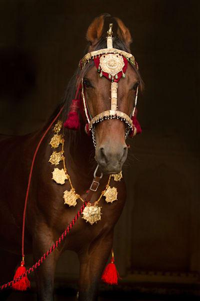 Decorated Marwari Horse