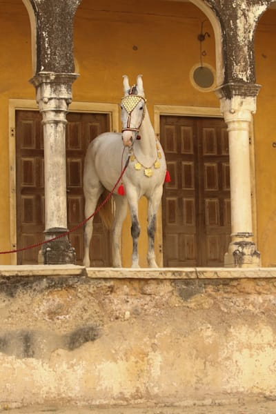 Decorated Gray Marwari Horse Print