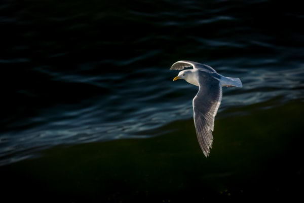 Seagull Over Puget Sound
