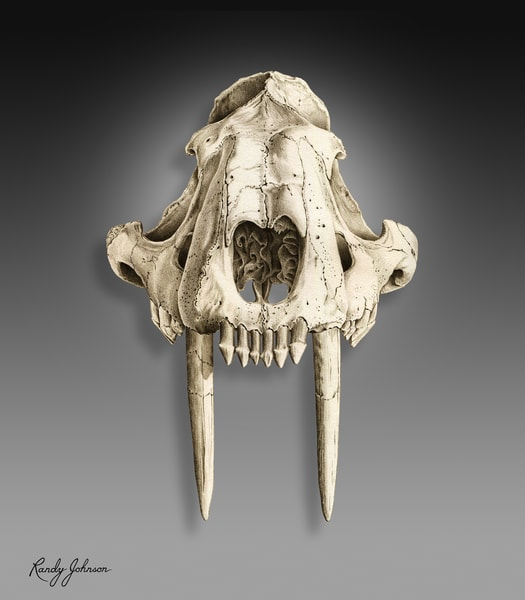 Saber Toothed Cat Skull Art | Randy Johnson Art and Photography