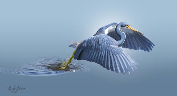 Tricolored Heron Fishing Art | Randy Johnson Art and Photography