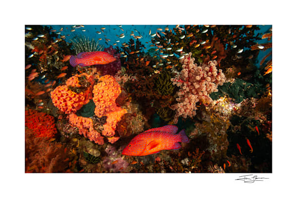 Photograph of Coral Groupers