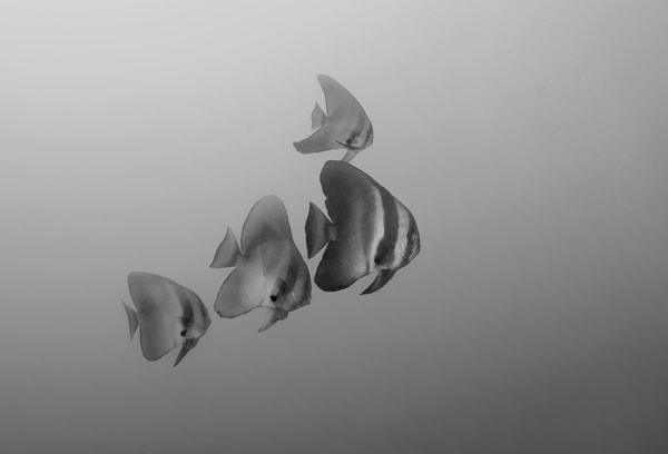 Awesome batfish photo in black & white
