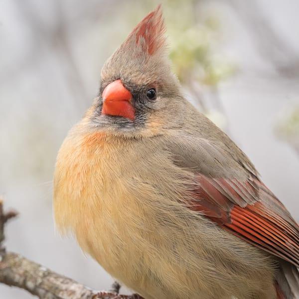 Female Northern Cardinal Photography Art | Matt Cuda Nature Photography
