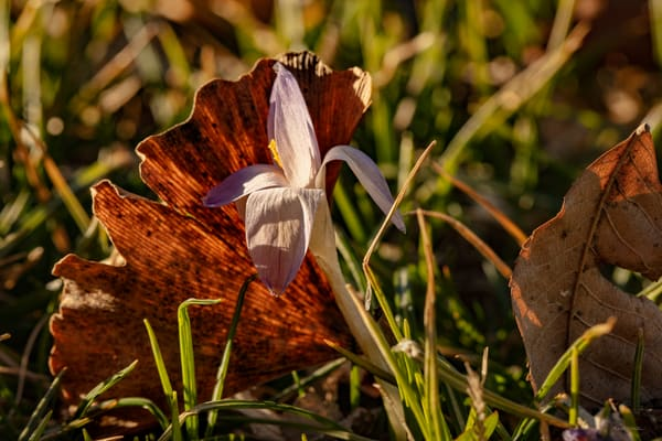 Crocus Leaf 9998 Art | Koral Martin Fine Art Photography