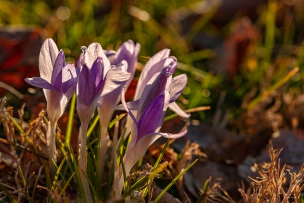 Crocus Group 9905 Fss Art | Koral Martin Fine Art Photography