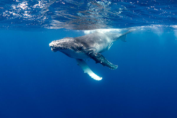 Juvenile Humpback 1 is part of a series of underwater photographs of baby whales available for sale as fine art.