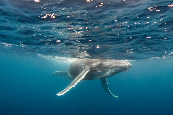 Baby Humpback Whale Playing is an underwater fine art photograph available for sale.