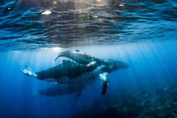 Trio is an underwater photograph of a whale mother, calf, and their escort available as a fine art print for sale.
