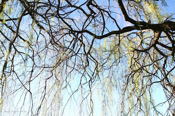 Willow Tree Art | Susan Searway Art & Design