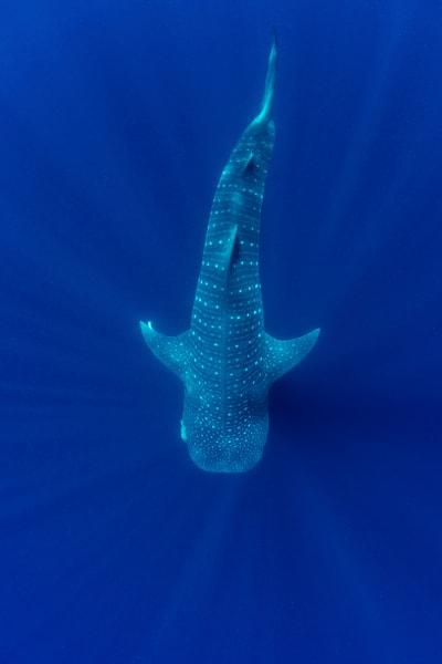 A beautiful whale shark photo.