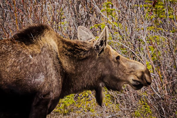 Moose Head Photography Art | Nelson Rudiak Photography