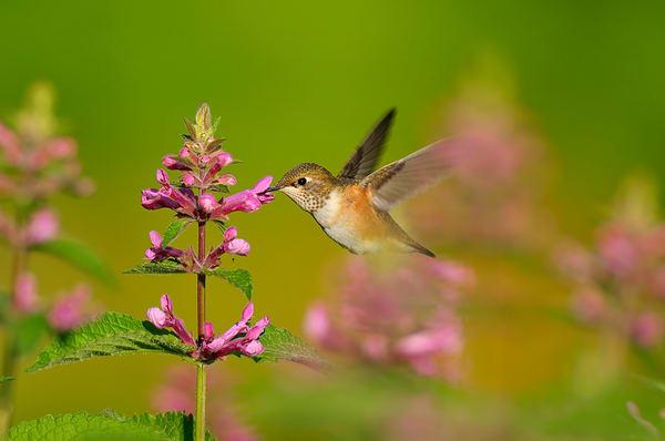 Rufous Hummingbird feeding on nettle flower.