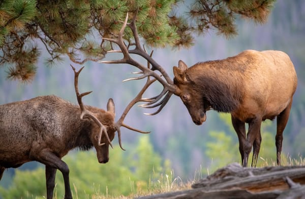 Photo of Colorado Bull Elk Locking Antlers in Rocky Mountain National Park