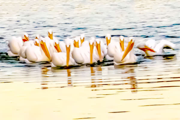 Pelicans At Sunset Photography Art | Silver Spirit Photography
