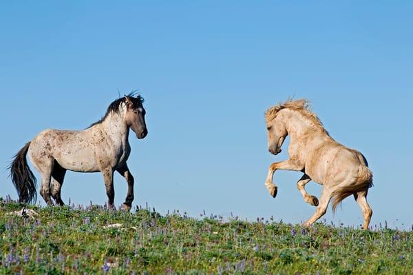 Wild Mustang dominance behavior between stallions.