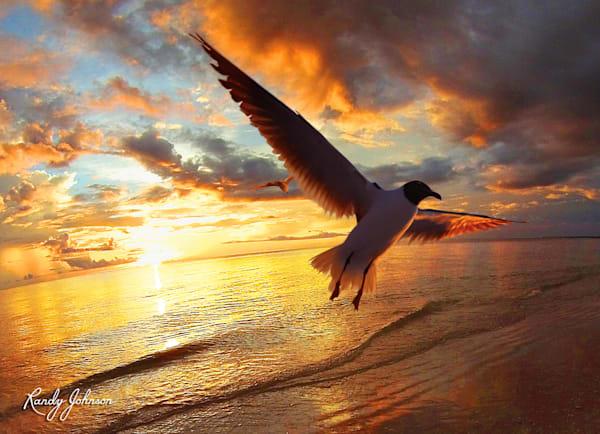 Laughing Gull At Sunset Art | Randy Johnson Art and Photography