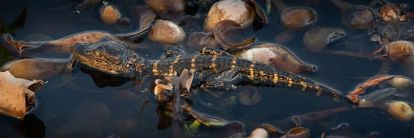 Baby Alligator Plays In The Marsh Print
