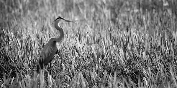 A Blue Heron Gazes Across Marsh Print