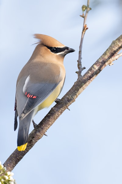 Cedar Waxwing In Fruit Tree Photography Art | Matt Cuda Nature Photography