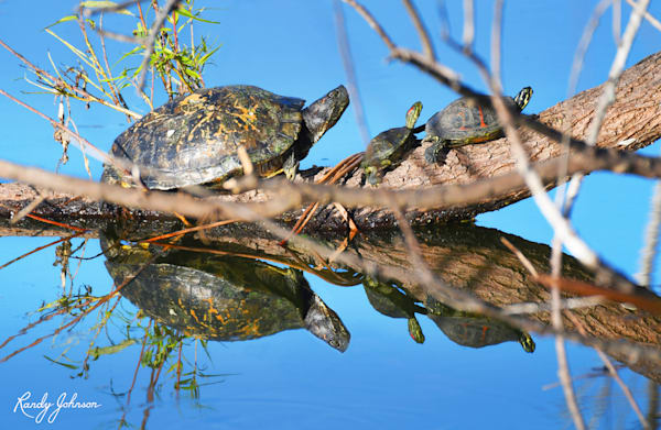 Three Turtles On A Branch Art   Randy Johnson Art and Photography