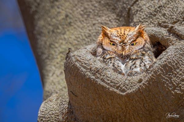 Eastern Screen Owl