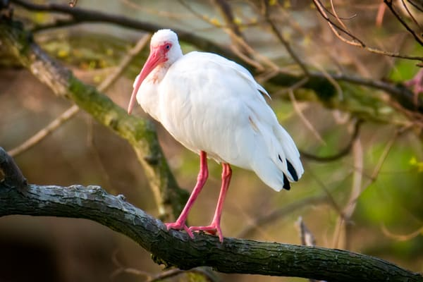 White Ibis at Sunrise on Lawton Pond