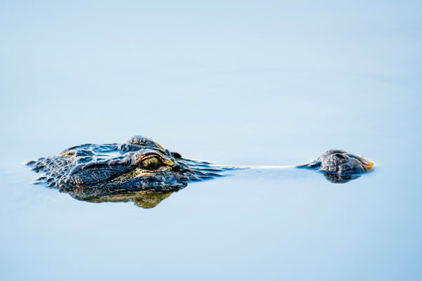 Alligator Head Breaking Water Surface