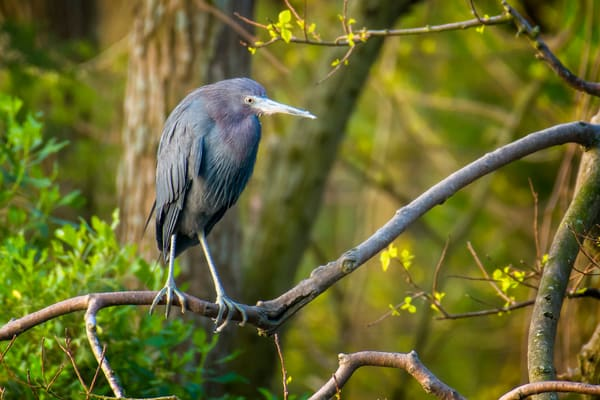 Litte Blue Heron in Tree on Edge of Pond