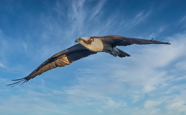 Osprey Soars above Lake Mercer