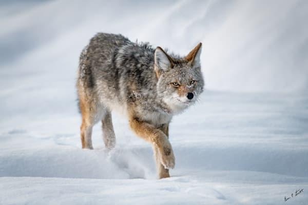 The Stalk Art   Alaska Wild Bear Photography