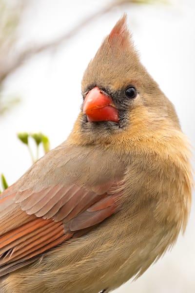 Northern Cardinal Photography Art   Cuda Nature Art