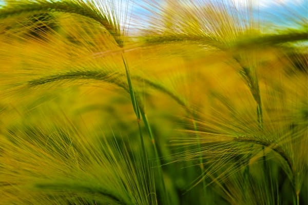 Fox Tail Barley Photography Art | Silver Spirit Photography
