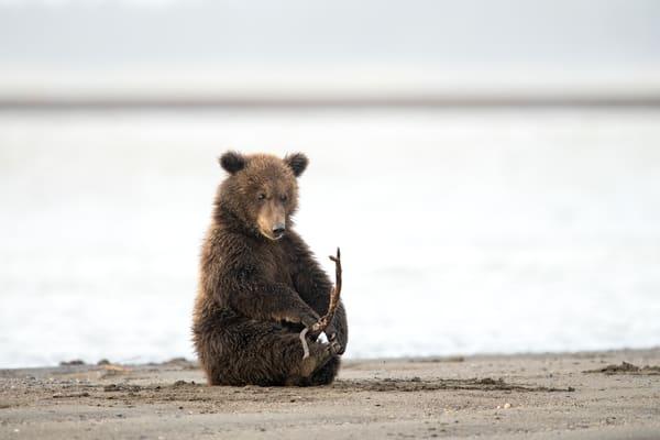 Awesome bear cub playing photo.