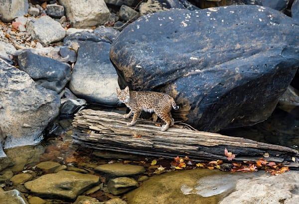 A Kentucky Wildcat Photography Art | Jeff Rogers Photography, Inc.