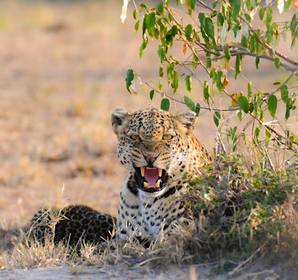 Leopardess Protecting Cubs Art   Drivdahl Creations