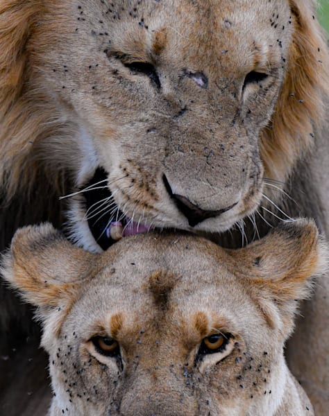 Mated Pair Of Lions Art | Drivdahl Creations