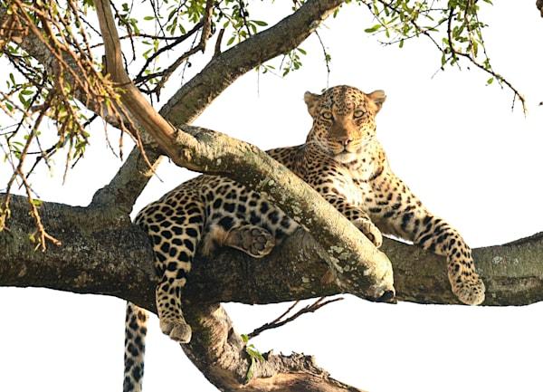 Leopard In Tree  Art   Drivdahl Creations