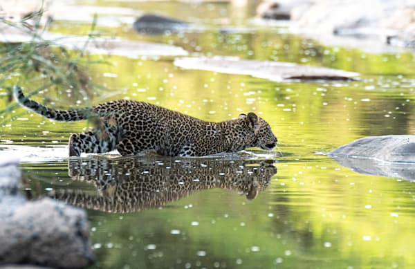 Leopard Cub In Water Art | Drivdahl Creations