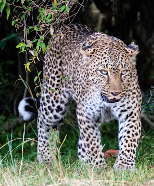 Leopard Prowling Art   Drivdahl Creations