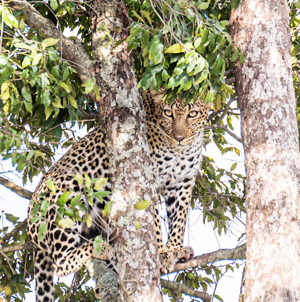 Leopardess In Foliage Art   Drivdahl Creations
