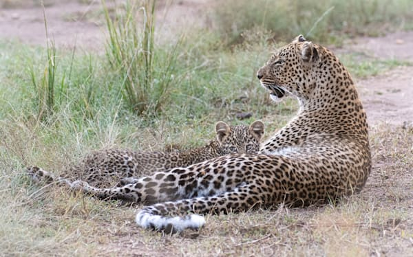 Leopard Nursing Art   Drivdahl Creations