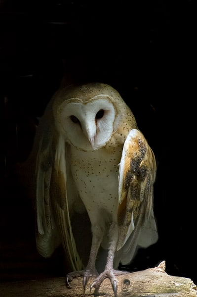 Angelic Owl  Photography Art | Great Wildlife Photos, LLC